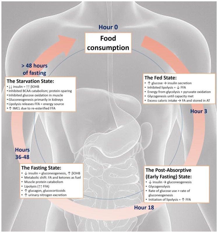 spalana tkanka tłuszczowa