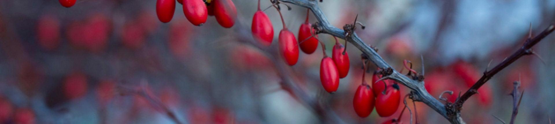 Berberyna: suplement czy lek? Poznaj właściwosci i działanie berberyny